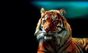 Tigris képe